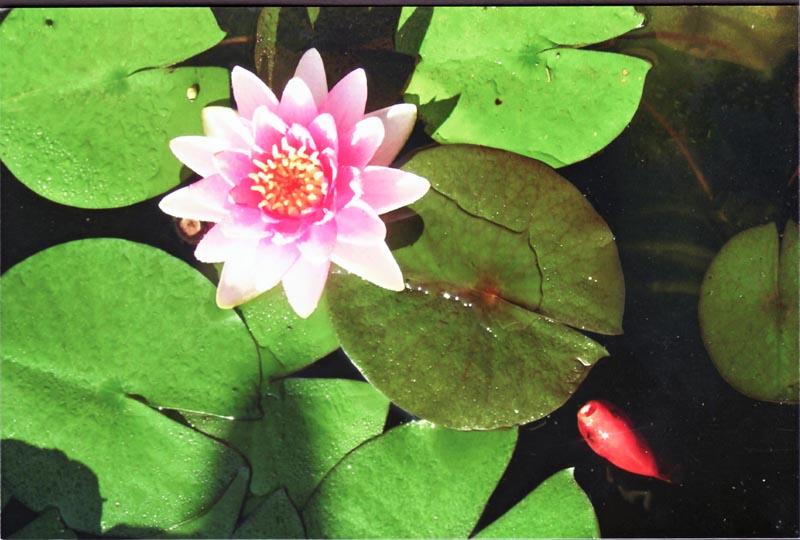 flowerlilypond.jpg